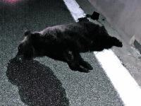 Tragedia nel Parco, orso investito e ucciso